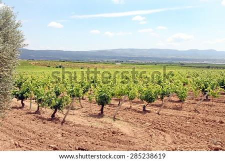 Vineyard in Utiel Hoya de Cadenas winery Valencia Spain - stock photo