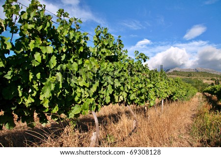 vineyard in western cape south africa, grapes are grown for making wine