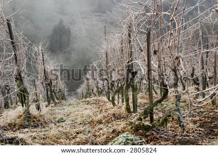Vineyard in winter covered in rime - stock photo