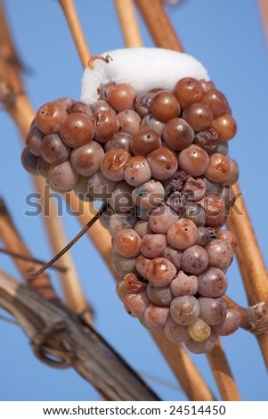 vineyard in wintertime with ice wine grapes - stock photo