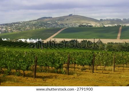Vineyard landscape in Durbanville, South Africa. - stock photo