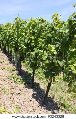Vineyard - landscape rows of beautiful vines in Eltville in Germany