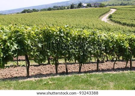 Vineyard - landscape rows of beautiful vines in Eltville in Germany - stock photo