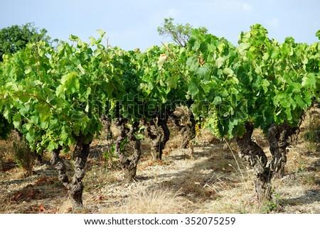 Vineyard near Arboras, France                                - stock photo