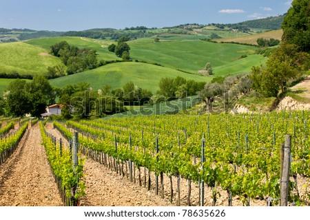 Vineyard near Montepulciano, Italy - stock photo