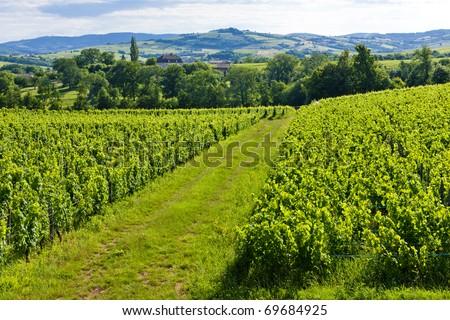 vineyard near Pouilly-Fuisse, Burgundy, France - stock photo