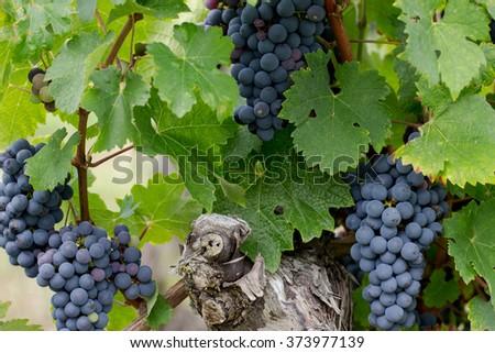 Vineyard of Wine Grapes - stock photo