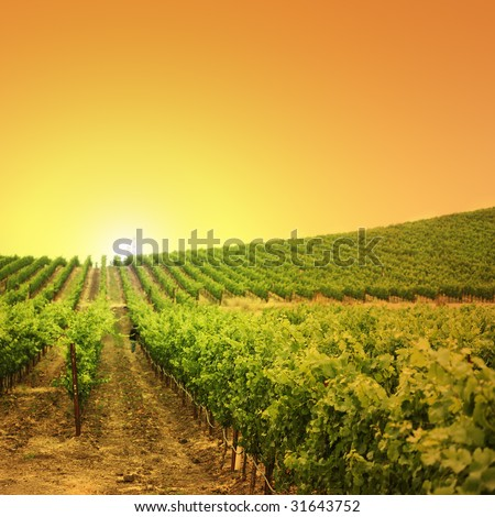 Vineyard on a hill at sunset
