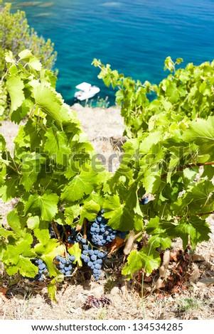 vineyard on Cap de Peyrefite near Cerbere, Languedoc-Roussillon, France - stock photo
