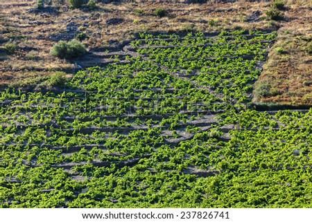 vineyard on Cote Vermeille near Port-Vendres, Languedoc-Roussillon, France - stock photo