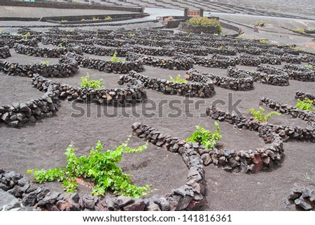Vineyard on Lanzarote, every vine has a personal small wall  - stock photo