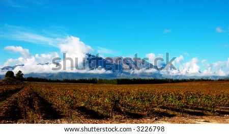 Vineyard on Pleisir de Merle wine farm in autumn. Shot in the early afternoon with blue sky and fluffy clouds in the background, in South Africa. - stock photo