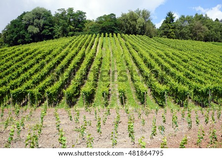 Vineyard on the hill in Mosell valley