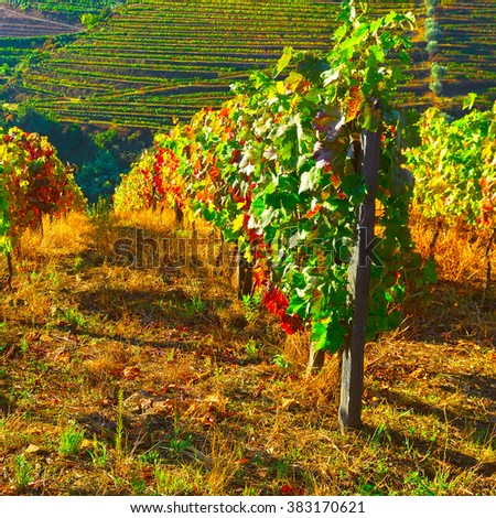 Vineyard on the Hills of Portugal - stock photo