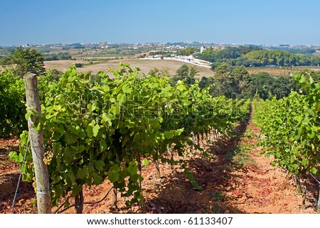 Vineyard on the west coast of Portugal - stock photo