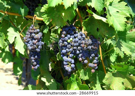Vineyard Red Wine Grapes, leaves - stock photo
