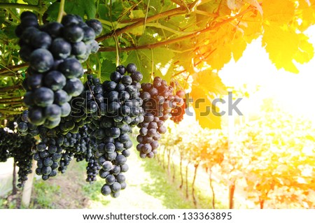 Vineyard. Ripe, juicy bunches of purple grapes hang on the vine. There are green leaves around the grapes, sunlight makes the way through them. Nobody is around. - stock photo