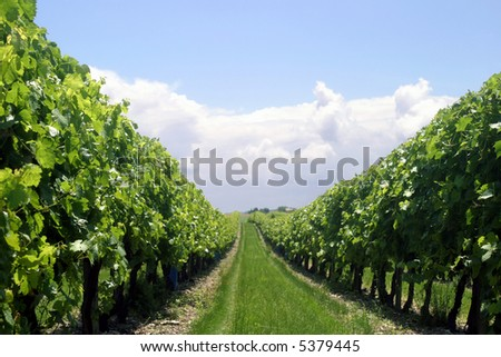 Vineyard Row - Looking through a row of vines in a French vineyard - stock photo