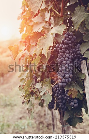 Vineyard Row With Bunches Of Ripe Red Wine Grapes - stock photo