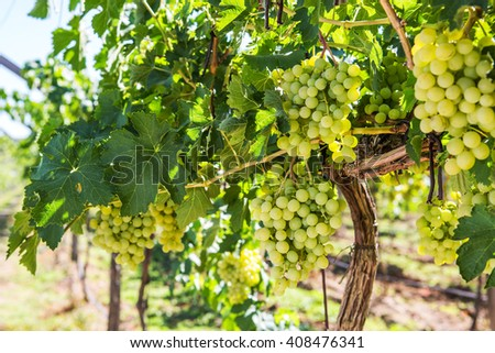 Vineyard row with bunches of ripe white wine grapes. - stock photo