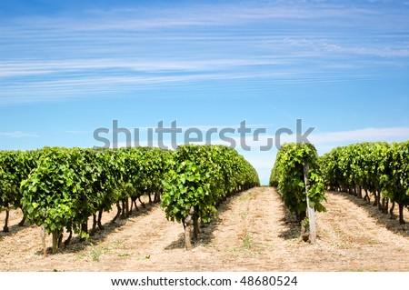 vineyard rows - stock photo
