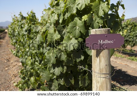 Vineyard - rows of Malbec vine plants - stock photo