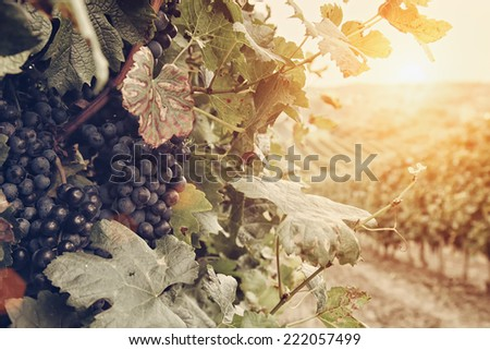 Vineyard Rows With Bunches Of Ripe Red Wine Grapes - stock photo
