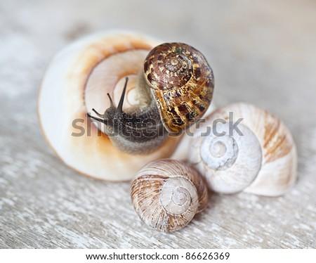 Vineyard snail crawling on large empty snail shells - stock photo