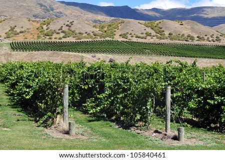 Vineyard, South Island, New Zealand. - stock photo