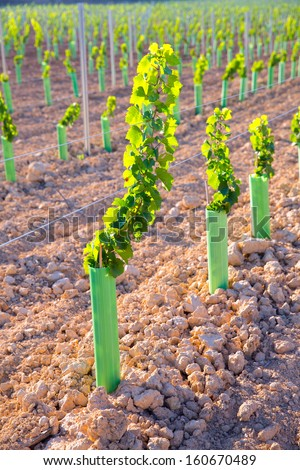 Vineyard sprouts baby grape vines in a row in mediterranean - stock photo