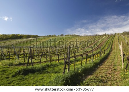 vineyard summertime scene in austria