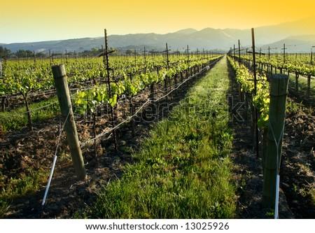 vineyard sunrise - stock photo