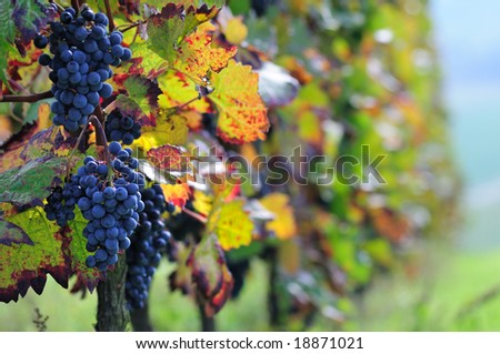 Vineyard, The Rhine Valley, Germany - stock photo