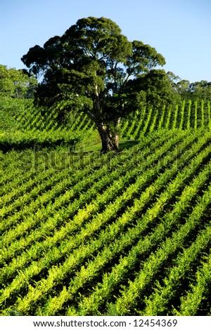 Vineyard Tree - stock photo