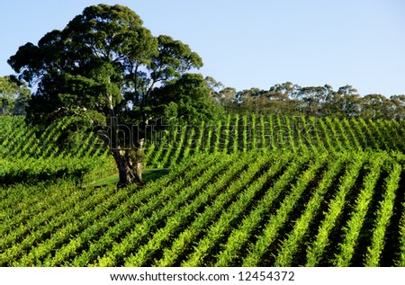 Vineyard Tree - stock photo