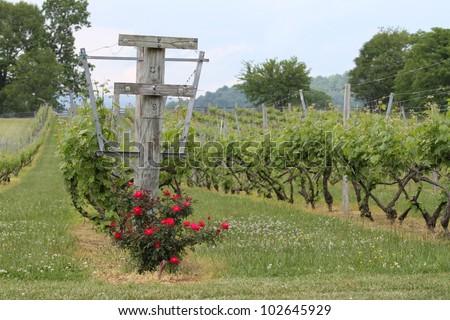 Vineyard Vines - stock photo