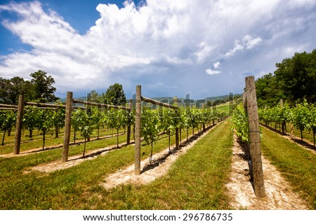 Vineyard wide angle close up under a dramatic blue sky with clouds. Virginia Blue Ridge Mountains - stock photo