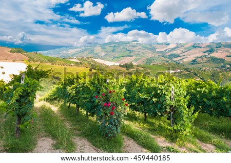 Vineyard with a rose bush