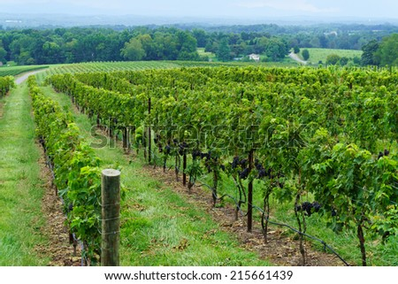 Vineyard with a view on a valley - stock photo
