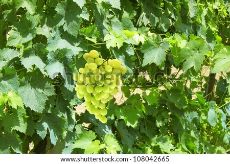 Vineyard with bunches of grapes - stock photo
