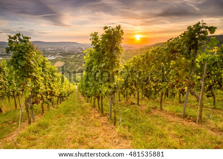 Vineyard with gape vines in sunset nearby Stuttgart Germany