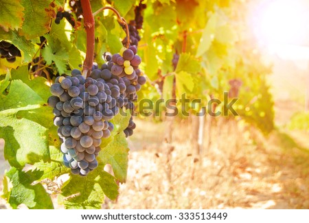 Vineyard with grapes - stock photo