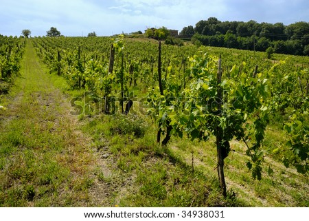 vineyard with grapes in Italy