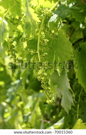 vineyard with little baby grape growing sprouts spring Spain - stock photo