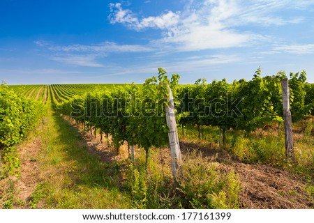 Vineyard with long lines in the central Europe