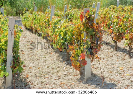 Vineyard with mature grapes on plant