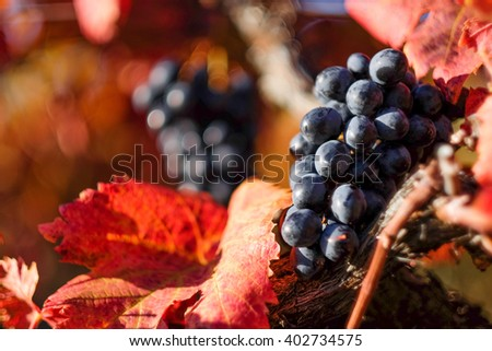 Vineyard with red grape in autumn - stock photo