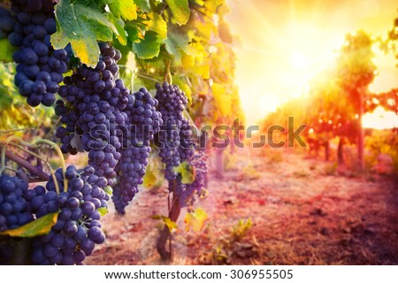 vineyard with ripe grapes in countryside at sunset - stock photo