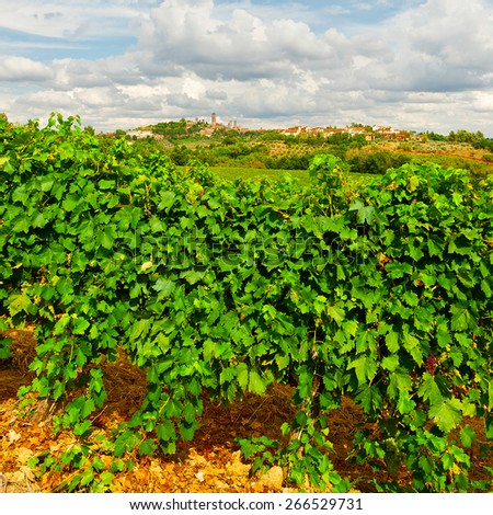 Vineyard with Ripe Grapes in the Autumn on the Background of Medieval Italian City - stock photo