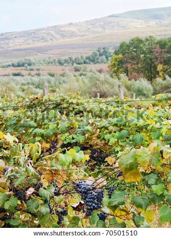 Vineyard with ripe red grapes and blurred landscape view with sky